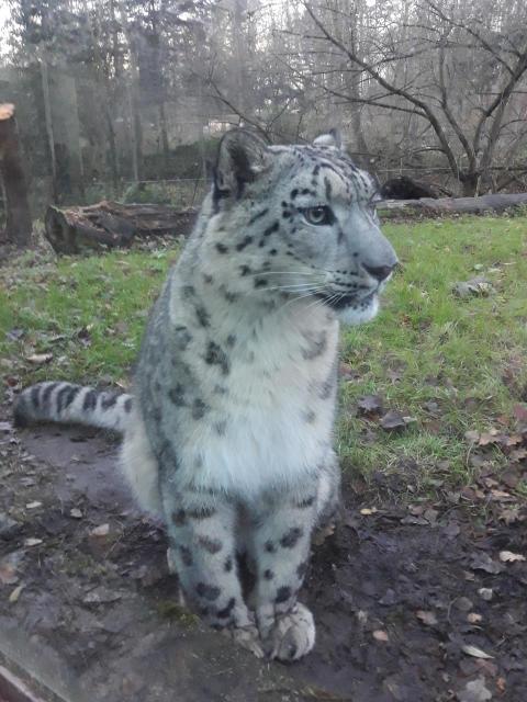 PI-Zoo-DARWINEUM-98-2017_Schneeleopard Barid_Zoo Rostock_Braun
