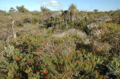 "The kwongan shrublands near Lesueur National Park, Western Australia are so species-rich that some botanists refer to them as ""knee-high tropical rainforests""."