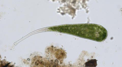 Stentor polymorphus