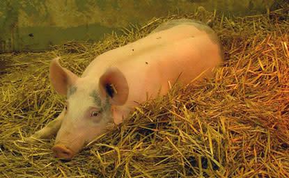 Ny kunskap om grisars immunförsvar