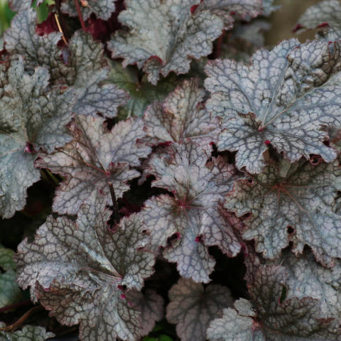Alunrot - Heuchera 'Plum Pudding'