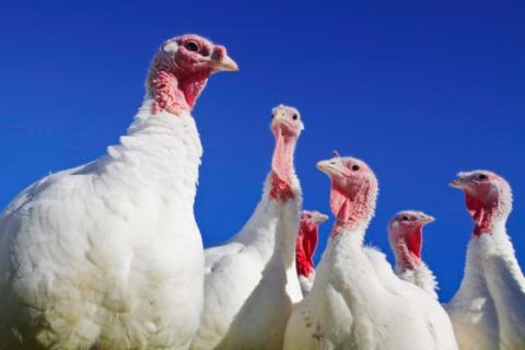 Dual-strain probiotic boosts turkey performance through multiple modes of action