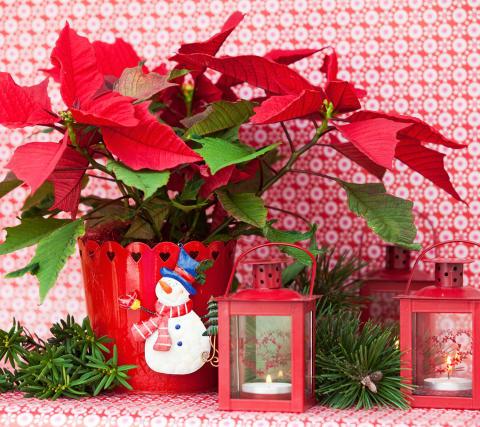 Julstjärnans dag - den 12 december