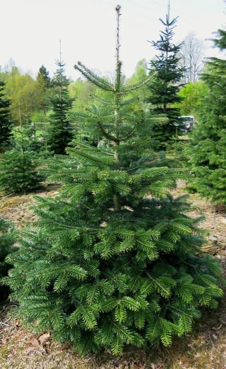 Svensk julgransodling kan utvecklas mycket mer