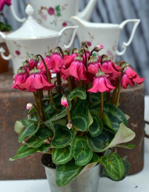 Cyklamen ´Petticoat´ - en stilren blomma, som en dansös på fönsterbrädan och i utekrukan