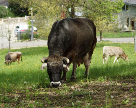 """Like a 'Girl's Gang'"". ​Quite Popular: the Small Herds of Cows and Sheep in the Goetheanum Park"