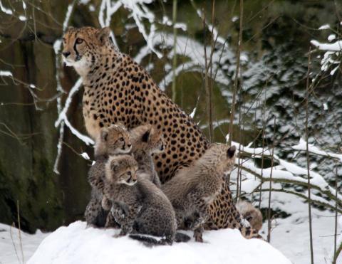 Borås Djurparks satsning på geparden ger resultat.