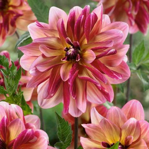 Dahlia 'Dark Butterfly'