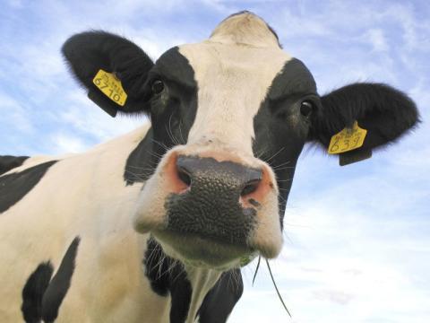 SiloSolve® MC improves milk production in US study