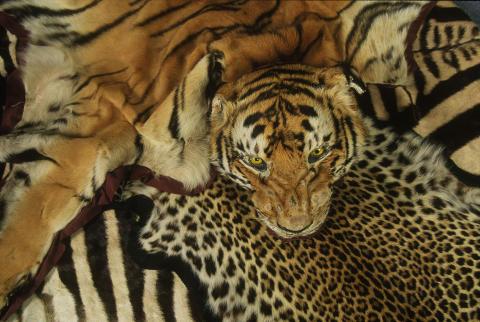 En souvenir för livet - Skinn från tiger och andra djur konfiskerade på Heathrow Airport