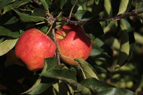 Ny äppelsort från Österlen