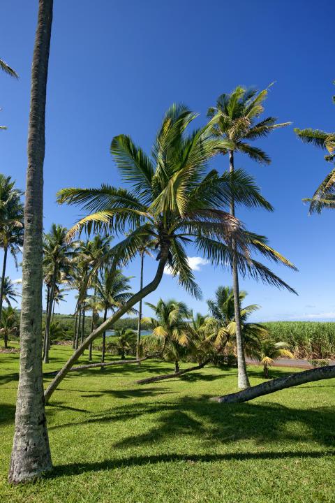 Mauritius_palmiers ©MTPA_Bamba