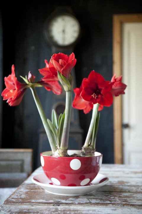 Arrangemang med röda amaryllis