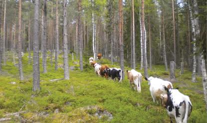 Fäbodbruket – ett kulturarv att bevara eller ett modernt miljövänligt jordbruk?