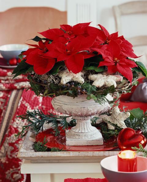 Julstjärnans Dag