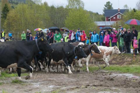 Bejublat betessläpp vid Svedja Gård i Hammarstrand i Jämtland
