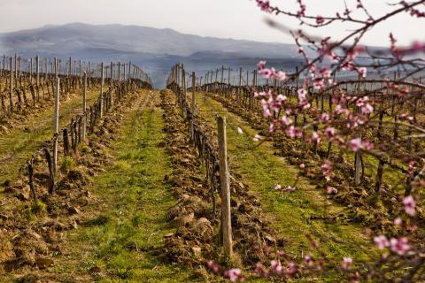 Col d´Orcia vår i vingården