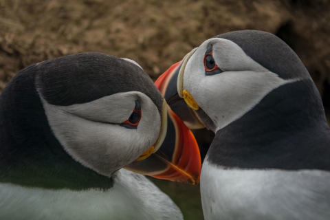 ©Sam Hobson_UK_SonyNaturePuffin8