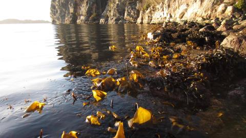 Tang og tare - havets grønnsaker