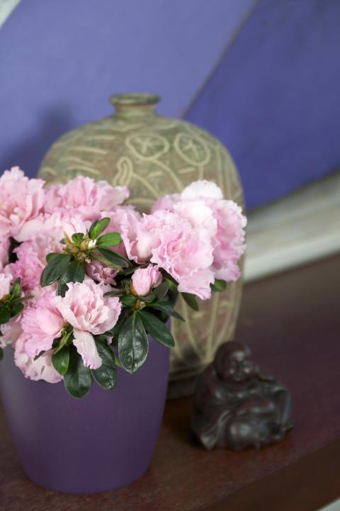 Fönsterazalea Rhododendron simsii Terranova lila kruka