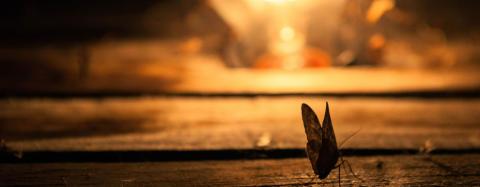 Hvorfor bliver insekter tiltrukket af lys?