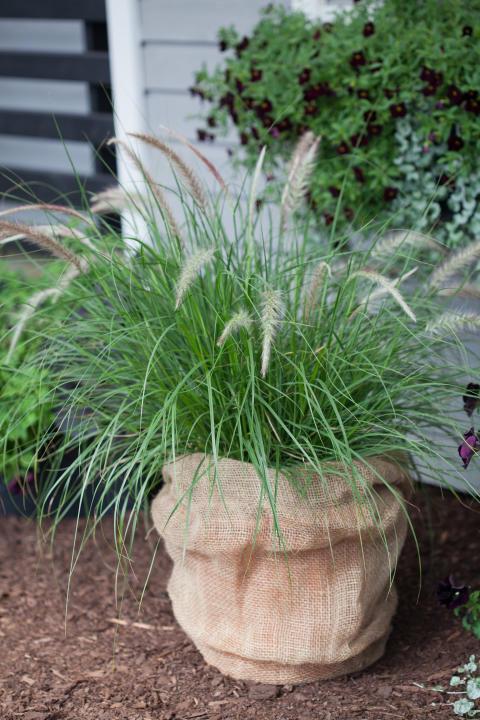 Pennisetum sataceum 'Green Fountain'