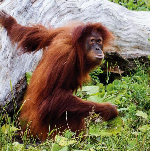 Orangutangen Utara har avlidit