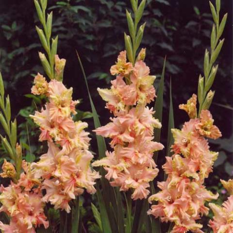Gladiolus 'Magic Ruffle'