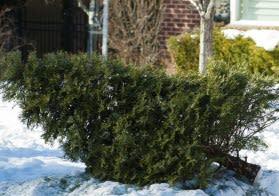 Julgranshämtning i Linköping