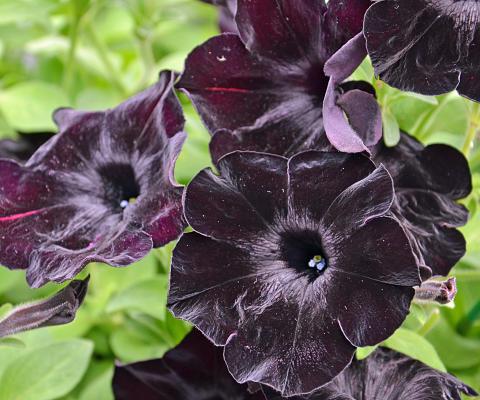 Black & White Svart Petunia