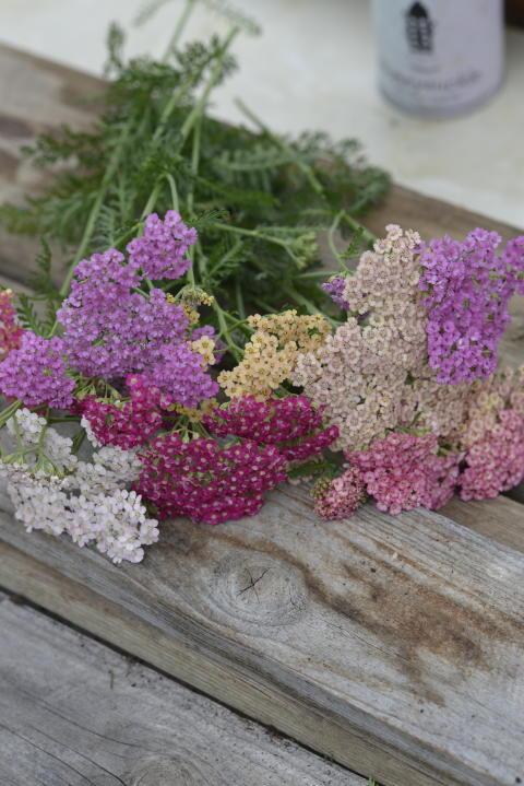 Pastellröllika 'Summer Pastels'