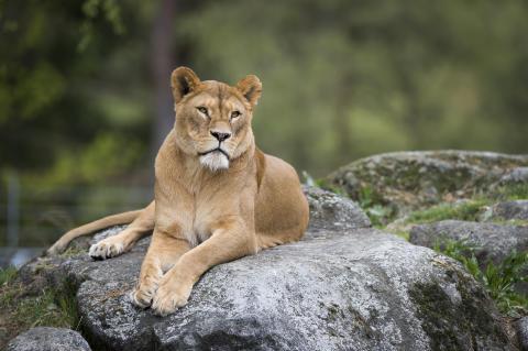 Material från Borås Djurparks lejon bidrar till att rädda hotade kattdjur i det vilda