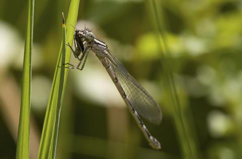 Trollsländor vid en damm åt hundratusentals insekter på en sommar