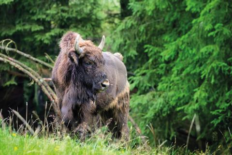 Bisonokse i Kosta Safaripark