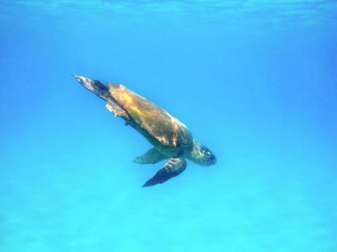 Zakynthos Sköldpadda