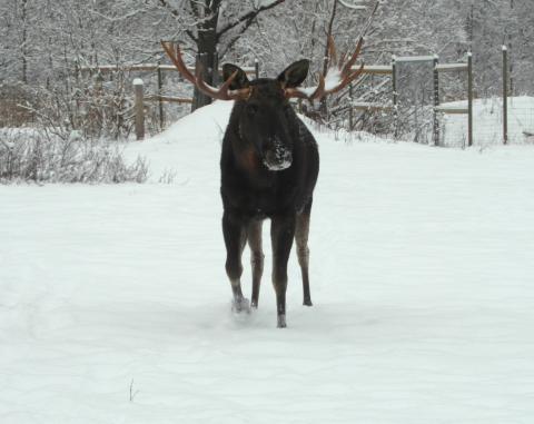 Vinterälg på Öster Malma