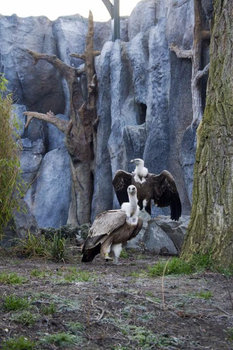 Gänsegeier im Nachbau der historischen Freiflug-Voliere im Zoo Leipzig