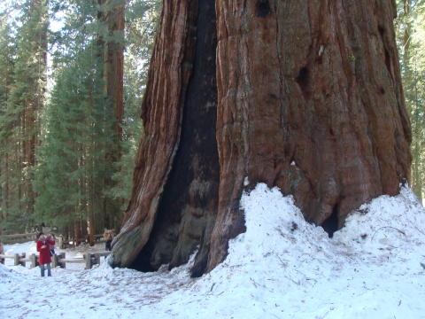 Mød verdens vildeste træer