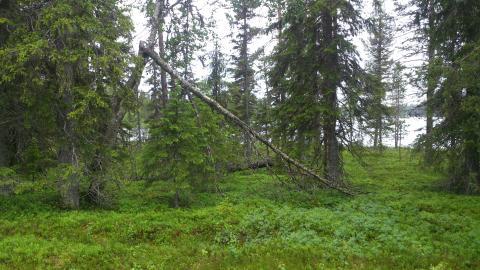 Barrskog från provtagningsplats i Arvidsjaur. Foto: Denis Warshan