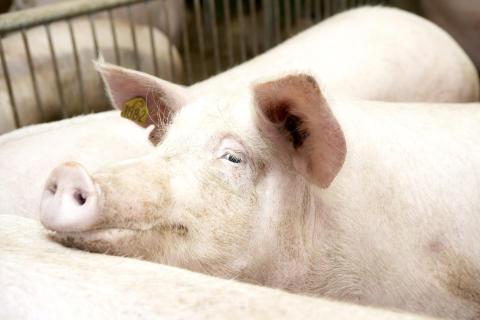 Atria panostaa eläinten hyvinvointiin ja myöntää investointilisää sikojen tuotanto-olosuhteiden parantamiseen