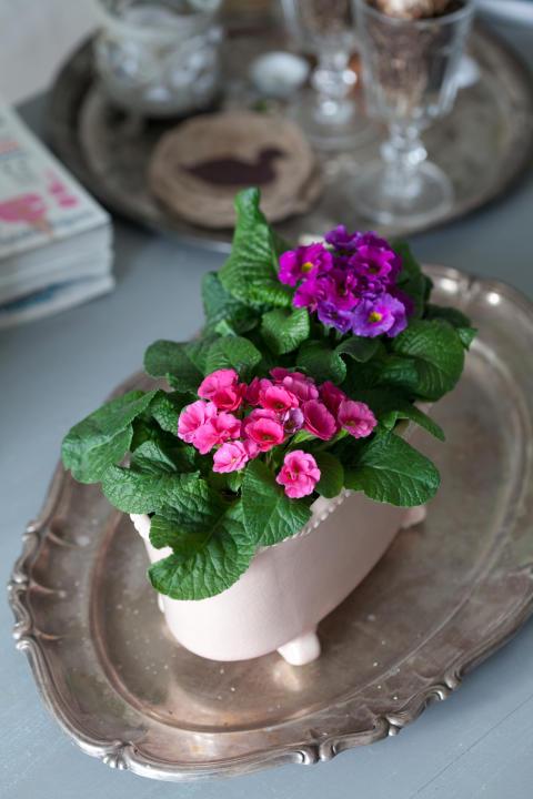 Fylldblommande jordviva, Primula vulgaris