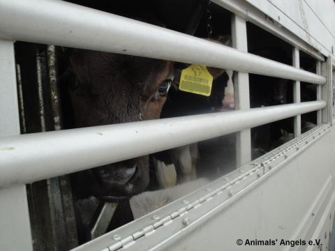 Djurtransport från Litauen till Turkiet, maj 2011
