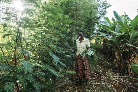 Agroforestry ökar skördarna trots klimatförändringarna