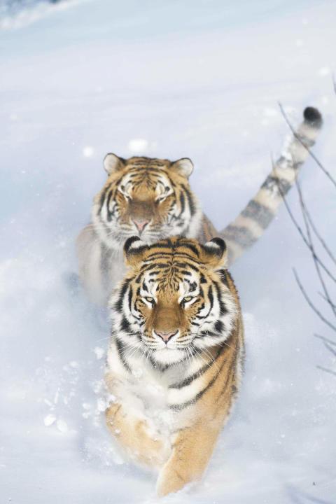 Sibiriska tigrar i Orsa Rovdjurspark