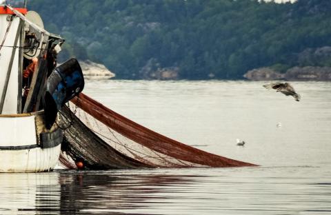HaV tillåter ökning av räkfisket i Kattegatt och Skagerrak under resten av året