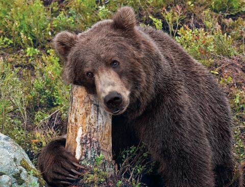 Kodiakbjörn i Orsa Rovdjurspark