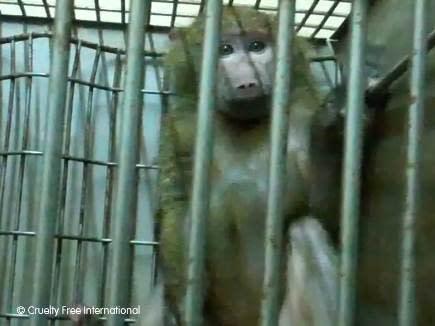 Plågsamma djurförsök på viltfångade apor i Kenya utförda av svenska forskare