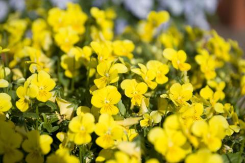 Hornviol - Viola cornuta 'Endurio' gul