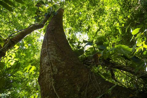Træstamme i Pico Bonito