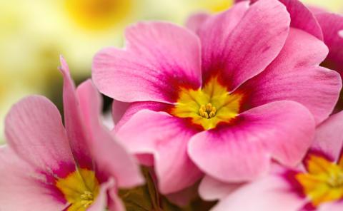 Primula: Blomsten som sier vår